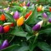 พริก7 สี พริกประดับ7สี Ornamental Pepper / 30 เมล็ด
