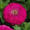 บานชื่นดอกซ้อน#7 สีบานเย็น (ต้นสูง) Zinnia purple / 100เมล็ด