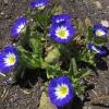 ผักบุ้งไตรรงค์ผักบุ้งแคระ 3 สี convolvulus tricolor / 25 เมล็ด