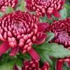 เบญจมาศ สีชมพูเข้ม Chrysanthemum / 20 เมล็ด