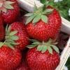 สตอเบอรี่ Stawberry / 150 เมล็ด