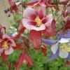 ดอกโคลัมไบน์ แดง Columbine Flower / 25 เมล็ด