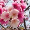 ซากุระญี่ปุ่น เชอรีบอสซัม Sakura / 10 เมล็ด
