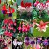 ตุ้มหูนางฟ้า ต่างหูนางฟ้า โคมญี่ปุ่น สีผสม Fuchsia Mix / 20 เมล็ด