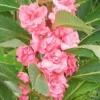 เทียนซ้อน สีชมพู balsam pink #6 / 50 เมล็ด