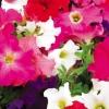พิทูเนีย แกรนดิฟลอร่า จัมโบ้ มิกซ์ Petunia Grandiflora Jumbo Mix / 100 เมล็ด