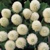 บานไม่รู้โรย สีขาว Globe amaranth / 100 เมล็ด