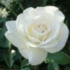 กุหลาบขาว white rose / 20 เมล็ด