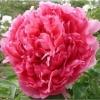 โบตั๋น สีชมพูเข้ม #20 Peony Pink / 10 เมล็ด