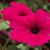 พิทูเนีย สีชมพู Petunia Pink / 200 เมล็ด