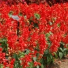 ซัลเวียสคาร์เรทคิงส์ สีแดง Salvia Scarlet King Red (ซองใหญ่) / ขนาด 1 กรัม