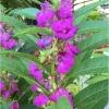 เทียนซ้อน แคนดี้ไวโอเล็ตสีม่วง balsam candy violet / 100เมล็ด