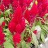 สร้อยไก่ สีแดง Celosia Plumosa castle red / 50เมล็ด
