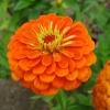 บานชื่นดอกซ้อน#4 สีส้ม (ต้นสูง) Orange Zinnia / 100เมล็ด