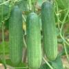 แตงร้าน ลูกผสม นาโต้ Cucumber / 50 เมล็ด