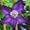 ดอกเคล็มแม็ททิส Clematis / 10 เมล็ด