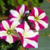 พิทูเนีย เบอร์กันดีสตาร์ Petunia Burgundy Star / 100เมล็ด
