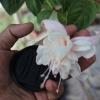 ตุ้มหูนางฟ้า ต่างหูนางฟ้า โคมญี่ปุ่น สีขาว Fuchsia / 20 เมล็ด