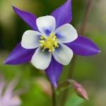 ดอกโคลัมไบน์ Columbine Flower / 25 เมล็ด