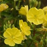อีฟนิ่งพริมโรส สีเหลือง Evening Primrose Showy Yellowv / 50 เมล็ด