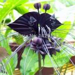 ว่านค้างคาวดำ Black Tiger Shall Orchid Flowers / 5 เมล็ด