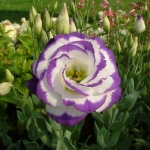 ดอกEustoma คละสี Eustoma Bicolor Mix / 20 เมล็ด