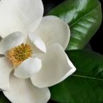 แมกโนเลีย magnolia / 20 เมล็ด