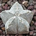 แอสโตรไฟตัม มาริออททิกมา (ซีวี ออนซูกะ) Astrophytum myriostigma cv onzuka/ 10 เมล็ด