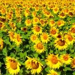 ทานตะวัน พันธุ์ทั่วไป #1 Sunflower / 30เมล็ด