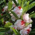 เทียนซ้อน สีขาวคลิบส้ม ริบบี้ออเร้นท์ balsam lipbe Orange / 50 เมล็ด