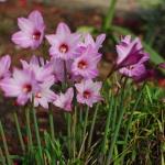 บัวดิน ไม้ดอก Zephyranthes Bubbles / 1 หัว