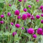 บานไม่รู้โรย สี ม่วง Globe amaranth / 100 เมล็ด