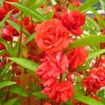 เทียนซ้อน สีแดงอมส้ม #8 Balsam / 50 เมล็ด