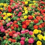 บานชื่นดอกซ้อน ดรีมแลนด์ (ต้นเตี้ย) สีผสม Dreamland Zinnia Mix Seeds / 20 เมล็ด