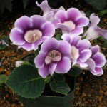 เมล็ดดอกกล็อกซีเนีย สีม่วง #11 (ดอกกุหลาบนางฟ้า) Gloxinia Purple / 30 เมล็ด