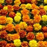 ดาวเรืองฝรั่งเศส ออโรร่า มิ๊ก marigolds french Mixed / เมล็ด