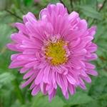 เอสเตอร์ สีชมพู Callistephus pink / 50 เมล็ด