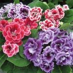 เมล็ดดอกกล็อกซีเนีย ดับเบิ้ล โบรเคด สีผสม (ดอกกุหลาบนางฟ้า) Gloxinia Double Brocade Mix / 30 เมล็ด