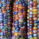 ข้าวโพดสายรุ้ง ข้าวโพดอัญมณี Corn Rainbow Glass Gem Corn / 10 เมล็ด