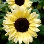 ทานตะวัน วาเลนไทน์ sunflower valentine / 50 เมล็ด