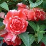 เทียนซ้อน สีแดง #5 Balsam / 50 เมล็ด