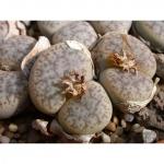 เมล็ดไลทอป มิ๊กซ์ Lithop Pseudotruncatella / 20 เมล็ด