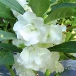 เทียนซ้อน (ซองใหญ่) สีขาว#7 Balsam / 10 กรัม