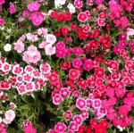 ดอกผีเสื้อ เทลสตาร์ มิ๊กซ์ Dianthus Mix/ 10 เมล็ด