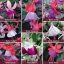 ตุ้มหูนางฟ้า ต่างหูนางฟ้า โคมญี่ปุ่น สีผสม Fuchsia Mix / 20 เมล็ด thumbnail 3