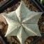เมล็ดแอสโตรไฟตัม (มาริออดทิกมา) ผสม Astrophytum Myriostigma Mix / 10 เมล็ด thumbnail 2