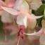 ตุ้มหูนางฟ้า ต่างหูนางฟ้า โคมญี่ปุ่น สีผสม Fuchsia Mix / 20 เมล็ด thumbnail 8
