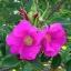 กุหลาบญี่ปุ่น rosa rugosa / เมล็ด thumbnail 3
