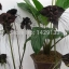 ว่านค้างคาวดำ Black Tiger Shall Orchid Flowers / 5 เมล็ด thumbnail 2