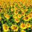 ทานตะวัน พันธุ์ทั่วไป #1 Sunflower / 30เมล็ด thumbnail 1